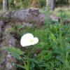 Bolinas Lily