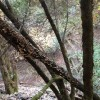 old branch on Santa Rosa Creek