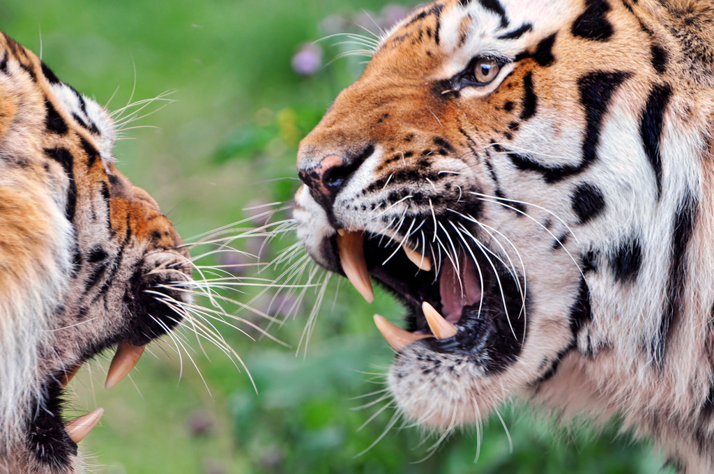 """An Argument"", by Flickr user Tamboko the Jaguar"